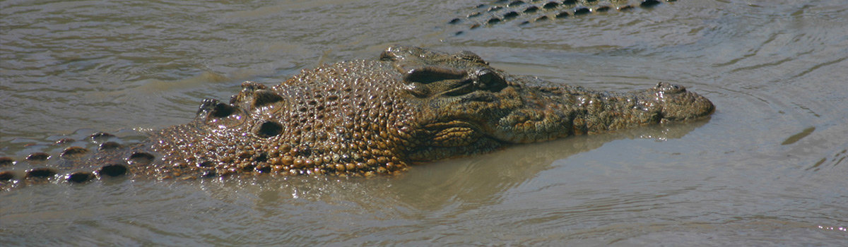 Crocodile Tours in Cairns