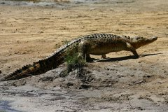 Crocodile walking on land