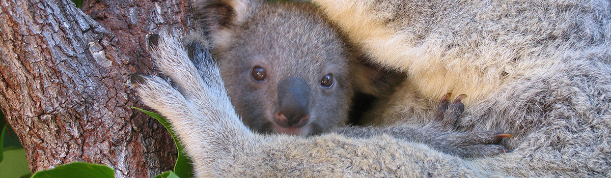 Cuddle a Koala at the Wildlife Habitat in Port Douglas