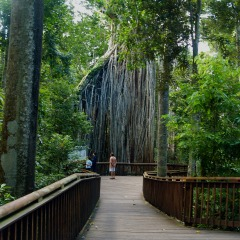 Curtain Fig Tree on the Atherton Tablelands in Cairns