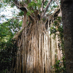 Curtain Fig Tree | Atherton Tablelands Tour