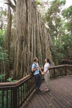 Curtain Fig Tree On The Tablelands North Queensland