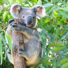 Cute koala in the Wildlife Habitat Port Douglas