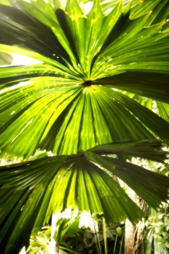 Daintree Rainforest | Grand Fan Palms | Amazing Tropical North Queensland