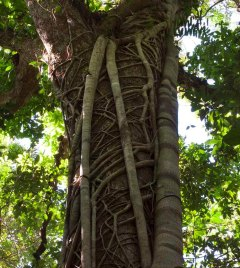 Daintree Rainforest Tree | Tropical North Queensland Holiday
