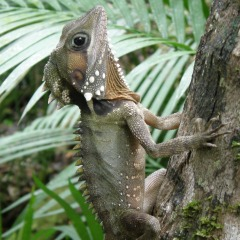 Daintree Rainforest Wildlife | 15 Day Cape York Camping Safari | Boyd's Forest Dragon