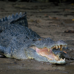 Daintree River Cruise | See Crocodiles In Their Natural Habitat