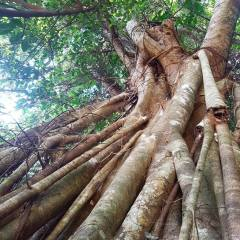 Daintree Strangler Fig Tree | Private Daintree Tour