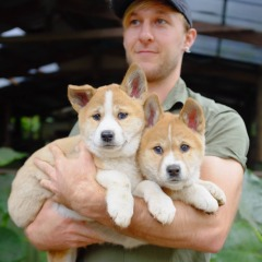 Dingo puppies | Rainforestation | Cairns