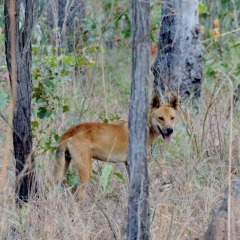 Discover Australian Wildlife | Wild Dingo | 11 Day 4WD Cape York Tour To North Australia