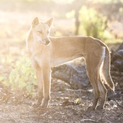 Cairns Nature Tours - Dingo - 1 Day Private Tour