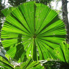 Discover The Daintree Rainforest | Australian Outback Safaris | Fan Palm
