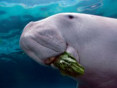 Dugong eating Sea Grass at Mission Beech