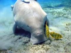 Dugong on The Ocean Floor at Mission Beech