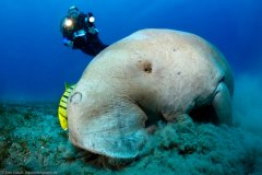Dugong with Diver at Mission Beech