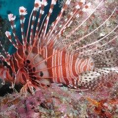 Great Barrier Reef Liveaboard Dive Tour, Lionfish are dangerous to humans and should not be touched