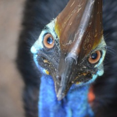 Endangered Cassowary bird in the Daintree Rainforest