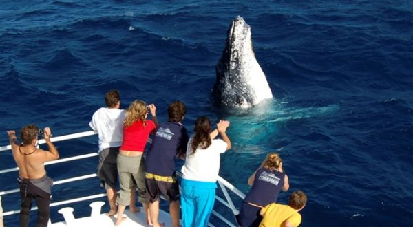 Whale watching Cairns - Whale spy hopping
