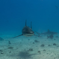 Feeding Sharks on our private charter Great Barrier Reef dive tours