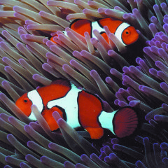 Find Clown Fish on Australia's Great Barrier Reef