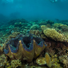 Frankland Islands Giant Clam