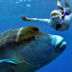 Friendly Maori Wrasse Cairns Liveaboard Scuba and Snorkel Trip