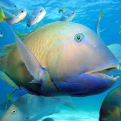 Great Barrier Reef Liveaboard Dive Trip, Friendly Parrot Fish