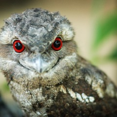 Frogmouth | Discover The Daintree Rainforest Birds Life | 2 Day 1 Night Stay