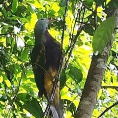 Fruit Dove at Mossman Gorge