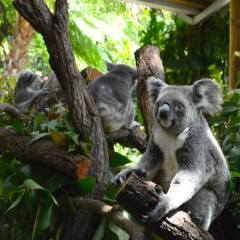 Full Day Kuranda Day Trip | 3 Wildlife Parks Pass | Koala Gardens | Hold A Koala