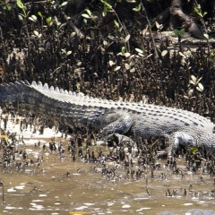 Crocodiles in Cairns - Johnstone River Wildlife Spotting Cruise
