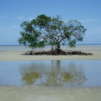 Full Day Tour | Daintree Rainforest, Cape Tribulation, Mossman Gorge | Cowrie Beach - Stingray Bay - The Lone Soldier Mangrove