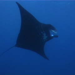 Giant Manta Ray on the Great Barrier Reef