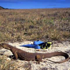 Goanna lizard in Queensland Australia