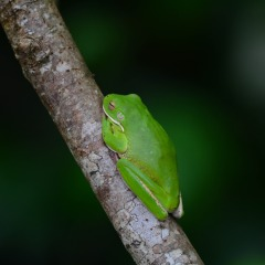 Green lipped tree frog in the Daintree Rainforest