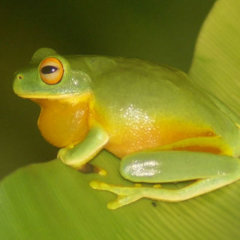 Green tree frog on the Atherton Tablelands