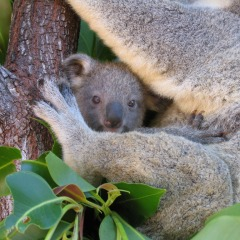 Have a #Koalaselfie taken at the Wildlife Habitat in Port Douglas