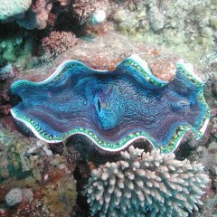 Huge clam shells on the Great Barrier Reef