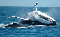 Humpback whale breaching on the Great Barrier Reef
