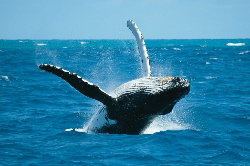 Cairns Attractions Whale Season In Cairns Cairns Attractions