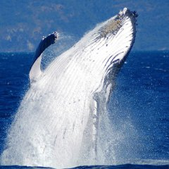 See Humpback Whales on tours Cairns