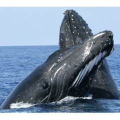 Whale watching tours - Humpback whales