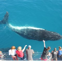 Whale watching tours Cairns -Juvenile Humpback Whale Cairns