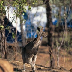 Kangaroo at Undara