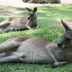 Kangaroo Lazing In The Sun | Rainforestation Nature Park Tropical North Queensland