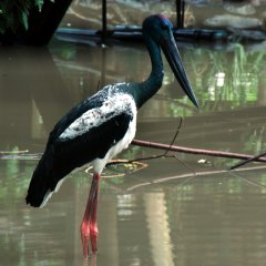 large stork at Port Douglas Wildlife Habitat
