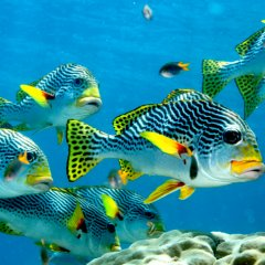 Sweetlip Fish School on the Great Barrier Reef | Half Day Low Isles Boat Tour