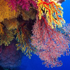 Liveaboard Boat Cairns | Fan Corals