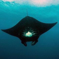 Liveaboard Boat Scuba Diving | Manta Ray