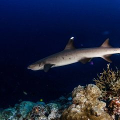 Liveaboard dive Cairns | Shark cruising